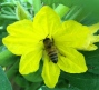 We've had a great cucumber crop thanks to these bees