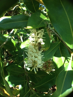 Bees love macadamias in flower